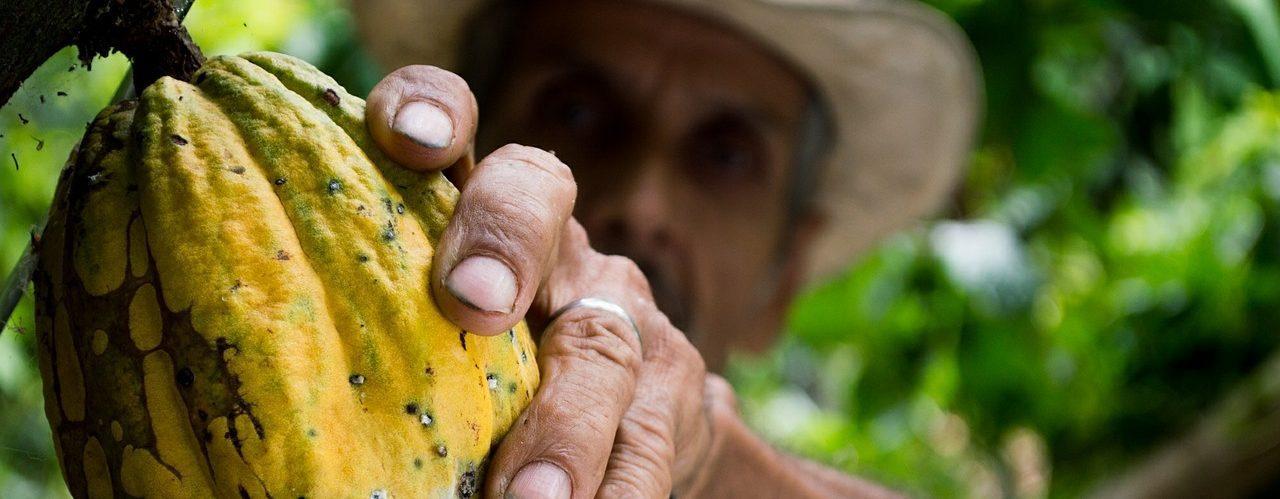Fève de cacao cueillis par une personne