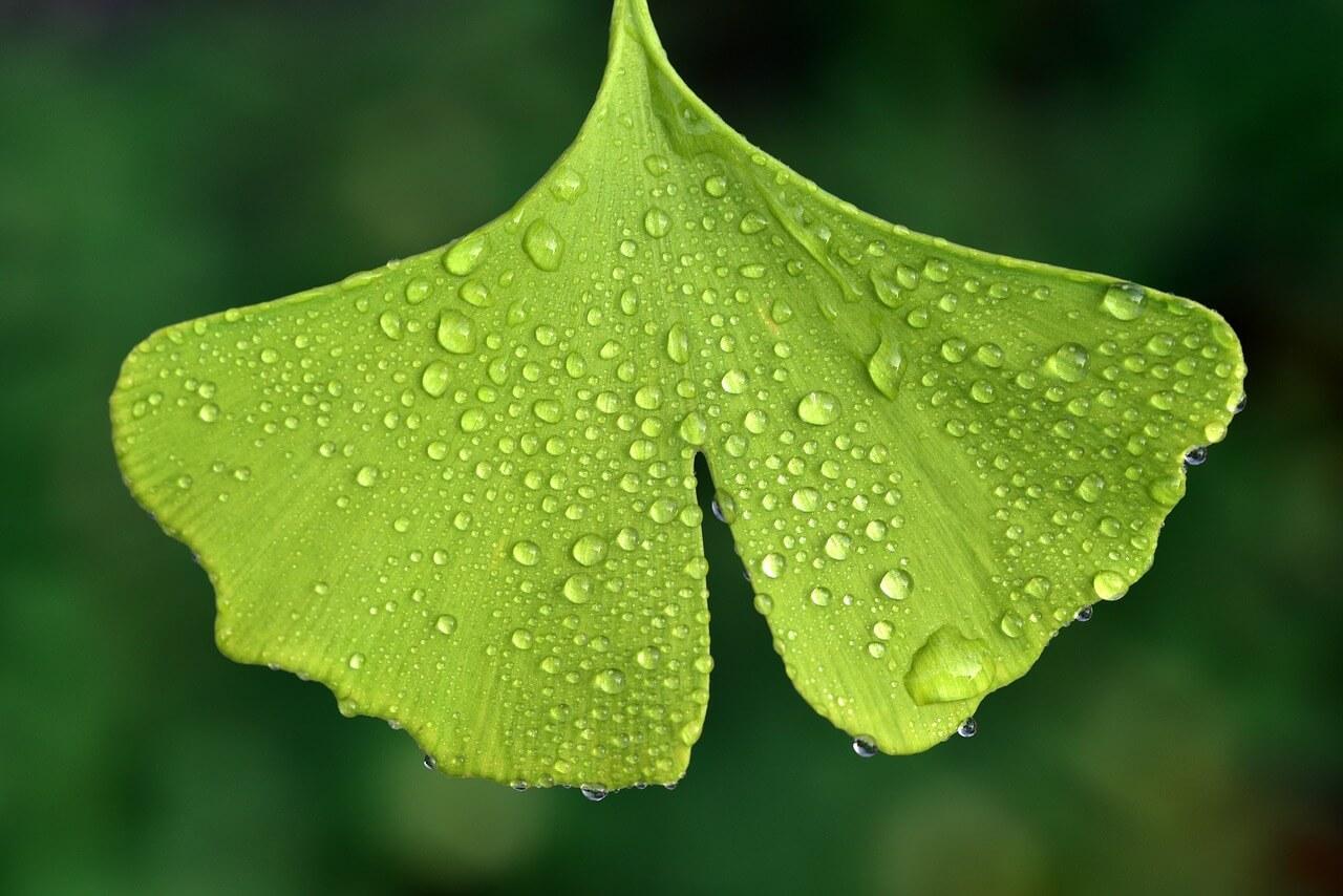 Photo question d'une feuille de ginko biloba, il y a des goulettes d'eau sur la feuille.