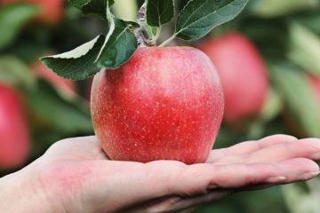 Photo d une pomme posé sur une main elle semble bio