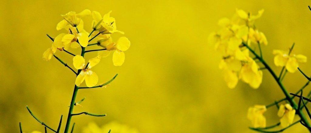 Photo de champs de colza en macro