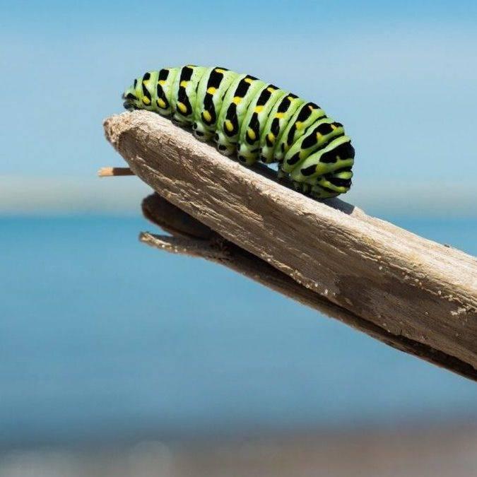 Photo d'une chenille verte posée sur une branche.