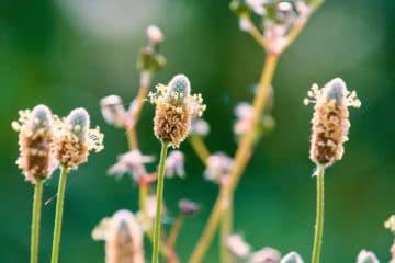 Photo de fleurs de psyllium en macro